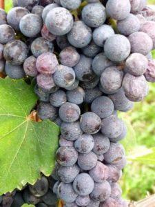 Nebbiolo druif